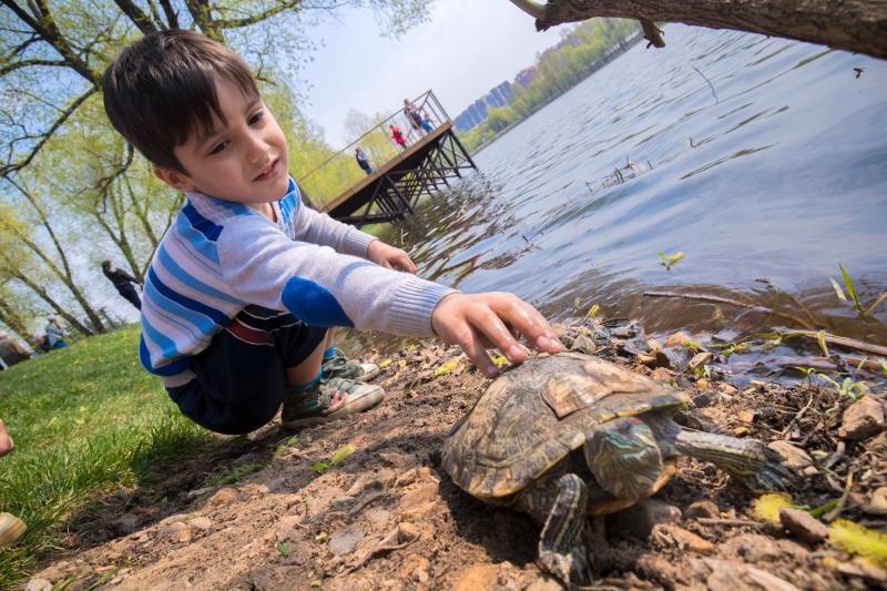 Живущая в реутовском пруду черепаха принесла потомство