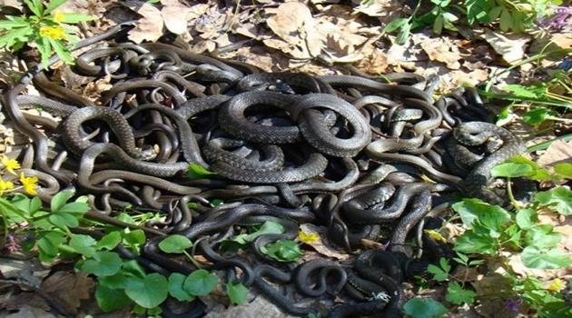 Министерство экологии Мособласти предупреждает о небывалом нашествии змей