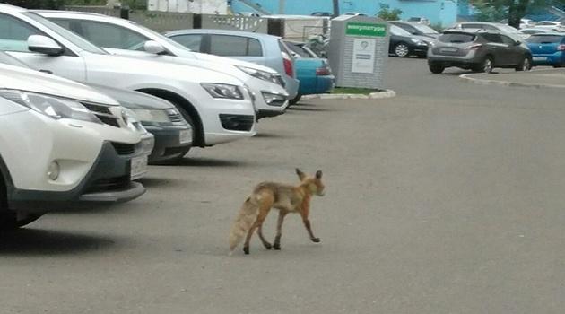 В Протвине продолжаются нападения диких лис
