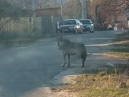 В Подмосковье волк напал на школьника