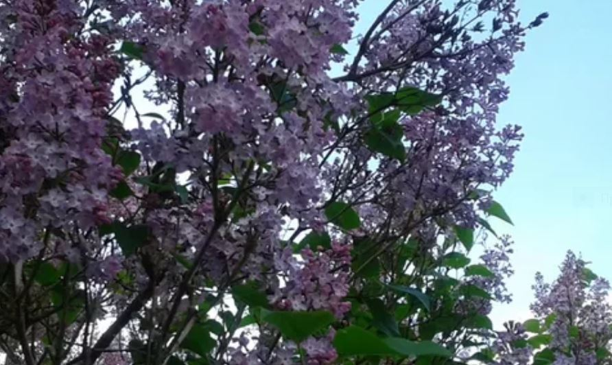 Первый в Подмосковье сад сирени открылся в Серпухове
